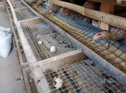 Ternak Telur Burung Puyuh